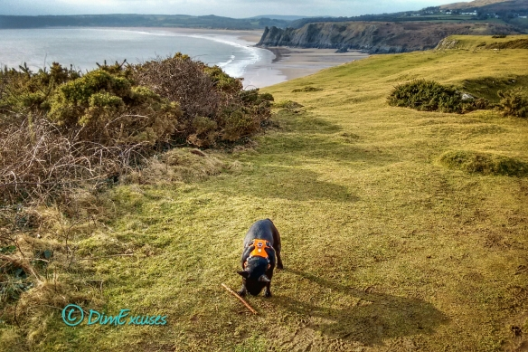 Pennard Cliffs Bulldog