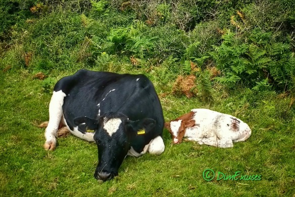 Cow and new born calf, Gower July 2016